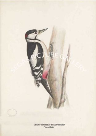 GREAT SPOTTED WOODPECKER - Picus Major